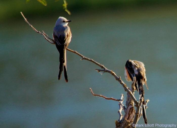 scissor-tailed-flycatcher-90-1280x926