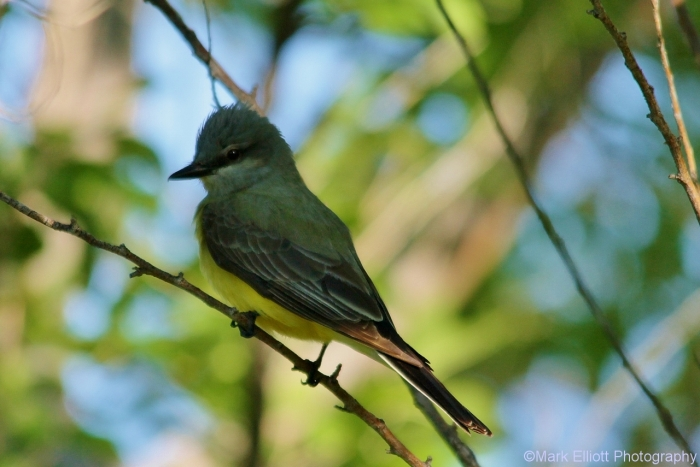 western-kingbird-29-1280x855