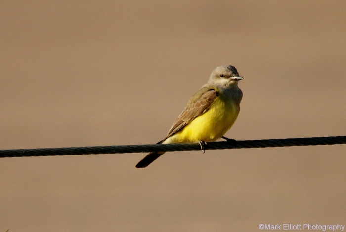western-kingbird-33-1280x860