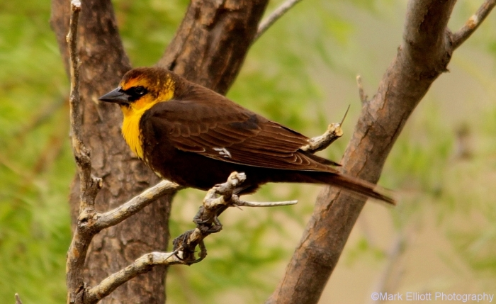 yellow-headed-blackbird-3-1280x785