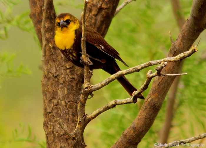 yellow-headed-blackbird-8-1280x920