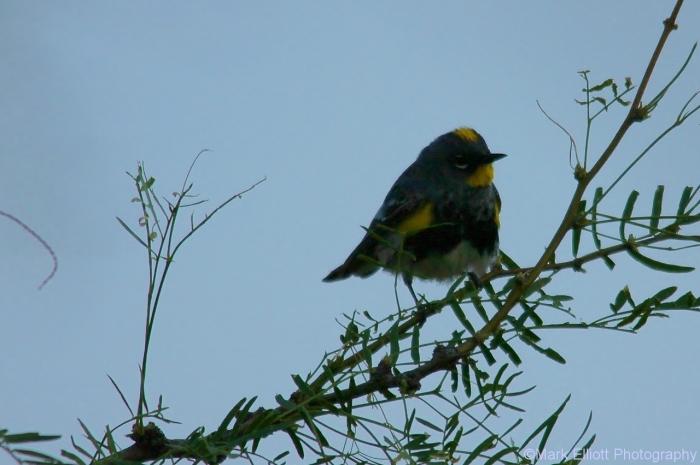 yellow-rumped-warbler-audubon-12-1280x852