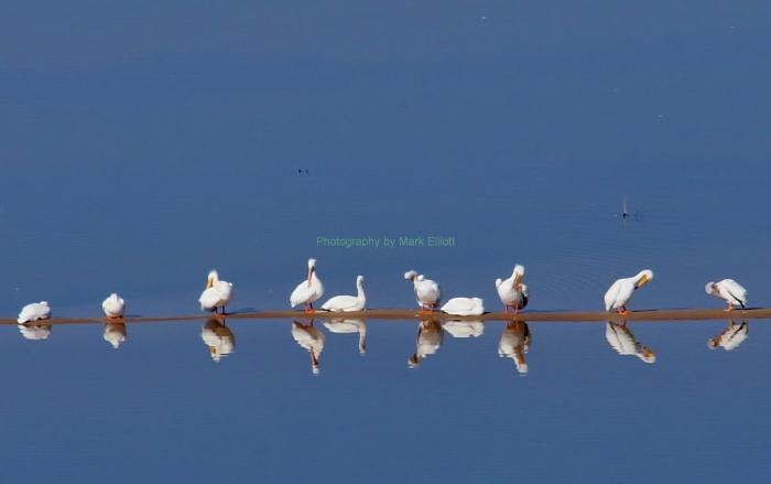 american-white-pelican-31