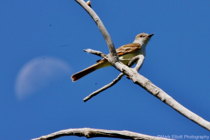 ash-throated-flycatcher-26-1280x855