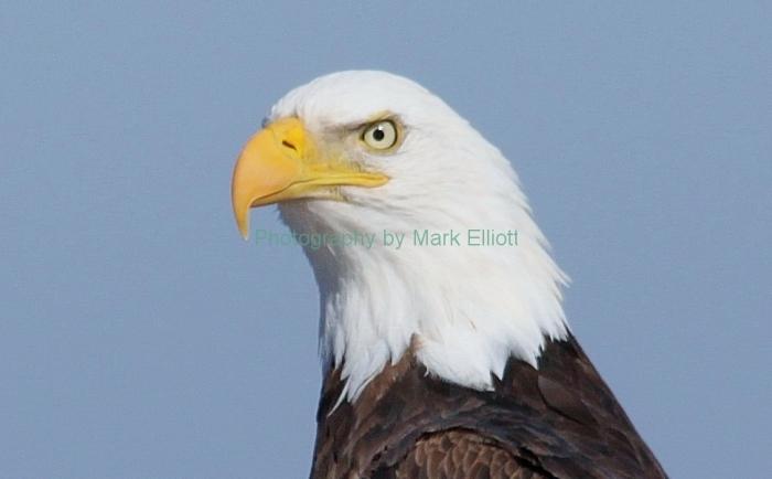 bald-eagle-320