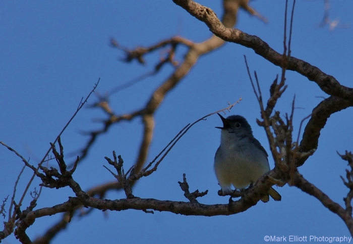 blue-gray-gnatcatcher-13-1280x884