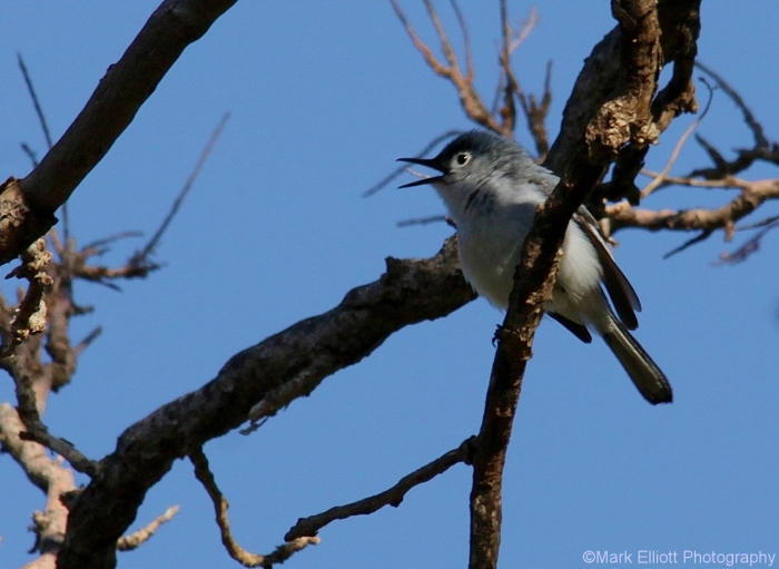 blue-gray-gnatcatcher-8-1280x936