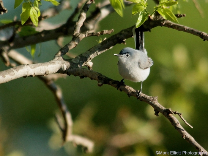 blue-grey-gnatcatcher-3-1280x966