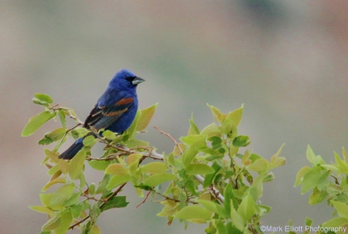 blue-grosbeak-36-1280x864
