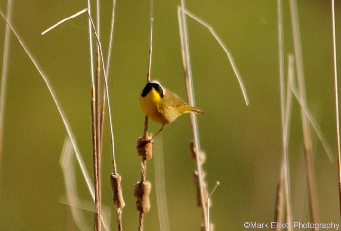 common-yellowthroat-5-1132x769