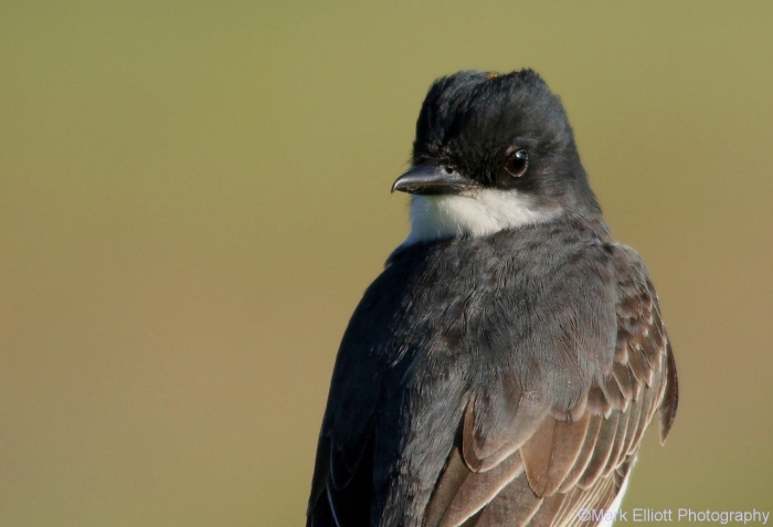 eastern-kingbird-3-1280x874