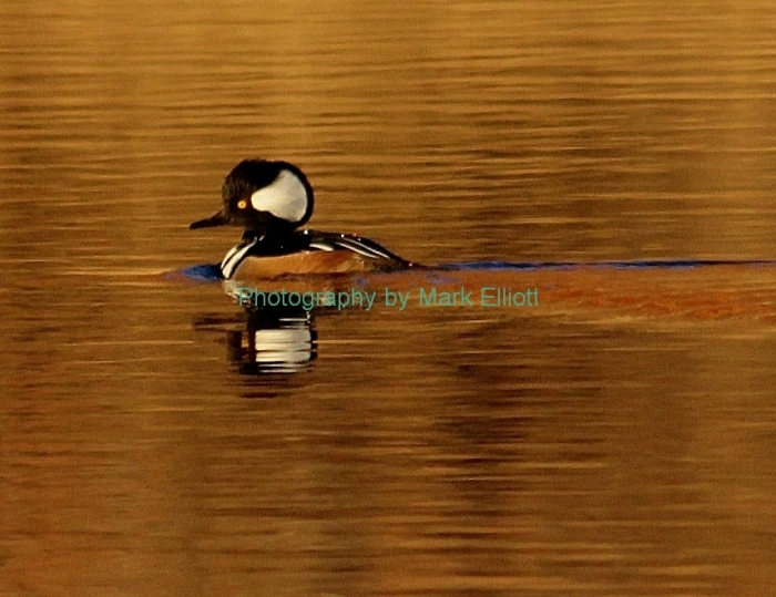 hooded-merganser-36
