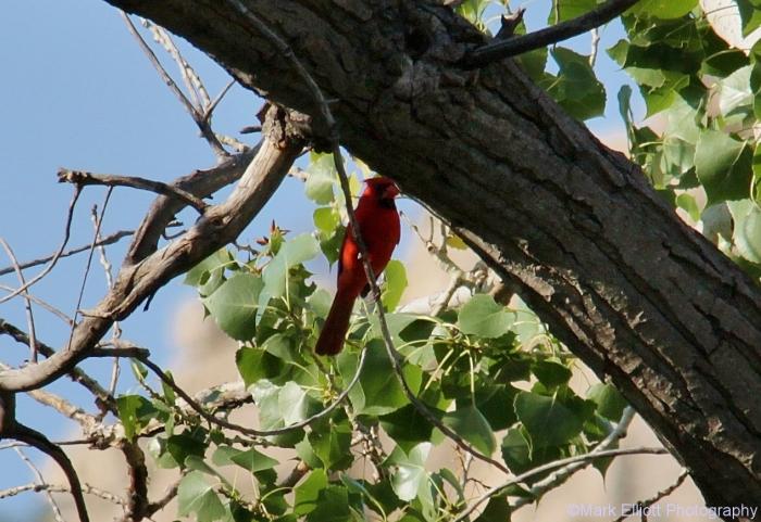 northern-cardinal-46-1266x870