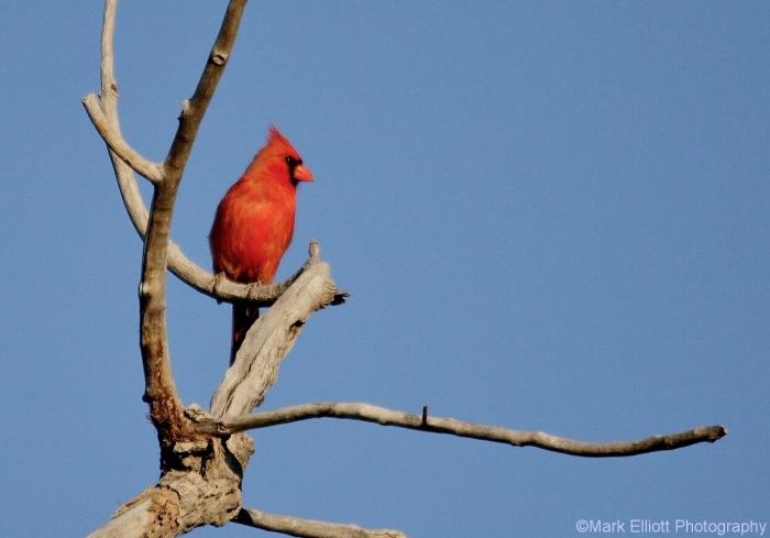 northern-cardinal-47-1280x895
