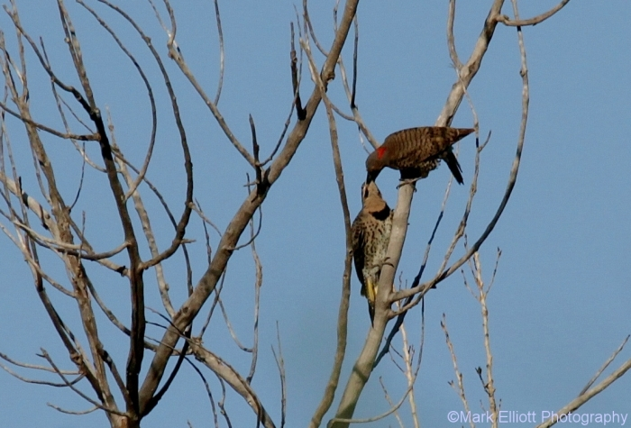 northern-flicker-44-1108x752