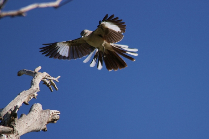 northern-mockingbird-28-1280x854