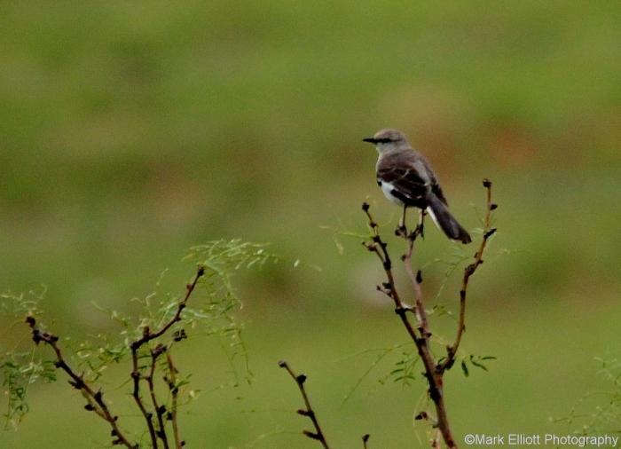 northern-mockingbird-30-1280x926