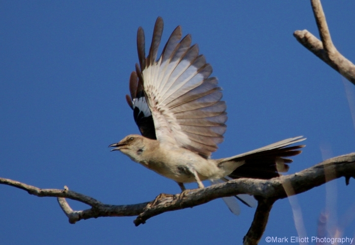 northern-mockingbird-45-1280x886