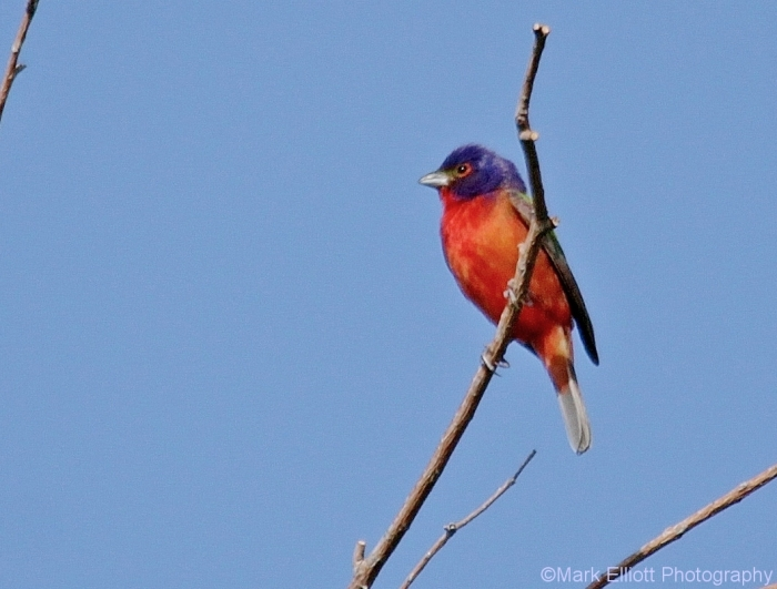 painted-bunting-22-1060x805