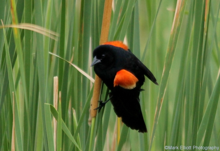 red-winged-blackbird-53-1280x884