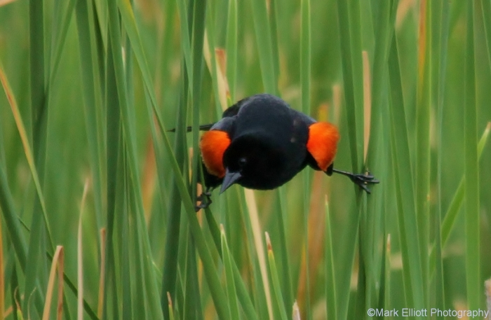 red-winged-blackbird-57-1280x836
