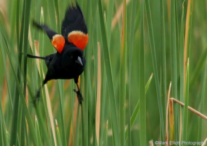 red-winged-blackbird-58-1280x903
