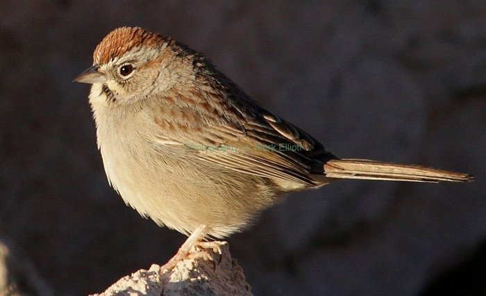 rufous-crowned-sparrow-12