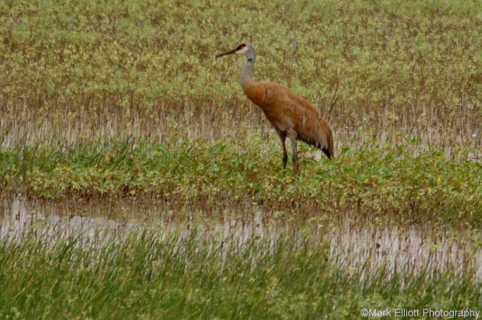 sandhill-crane-15-1280x851