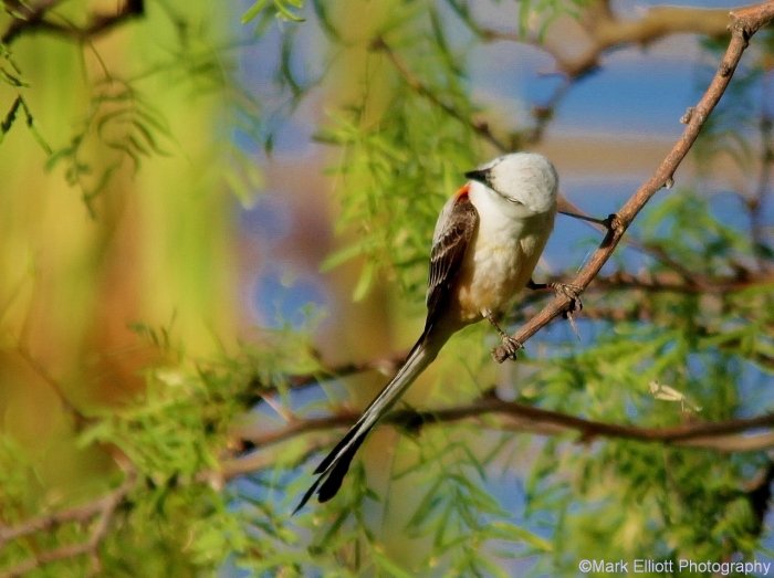 scissor-tailed-flycatcher-81-1280x957