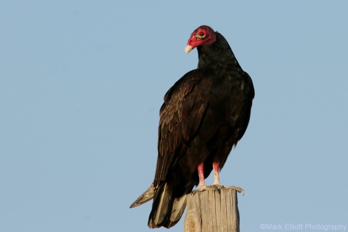turkey-vulture-41-1280x854