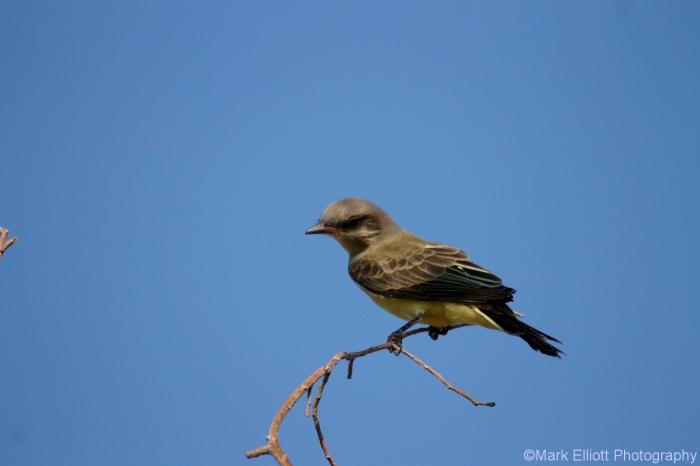 western-kingbird-41-1280x853