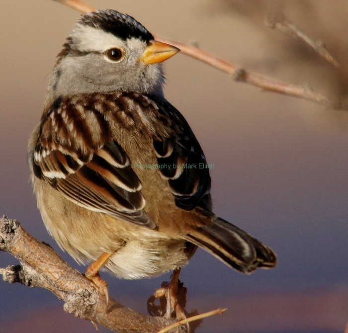 white-crowned-sparrow-9