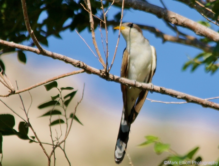 yellow-billed-cuckoo-1280x973