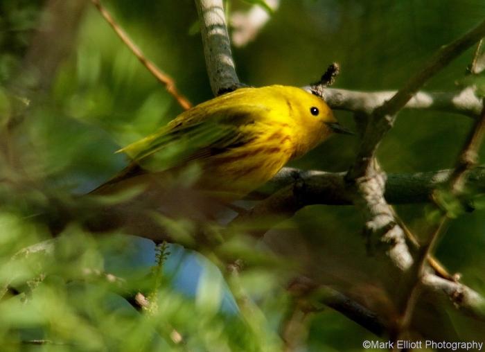 yellow-warbler-2-1280x930