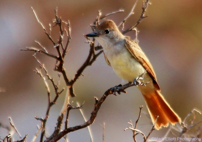 ash-throated-flycatcher-35-1280x900