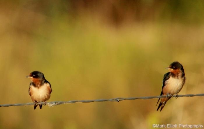 barn-swallow-juvenile-2-1280x812