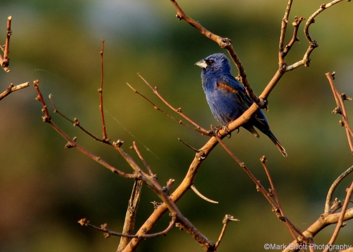 blue-grosbeak-45-1280x915