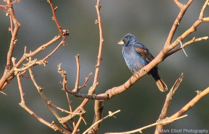 blue-grosbeak-56-1280x824