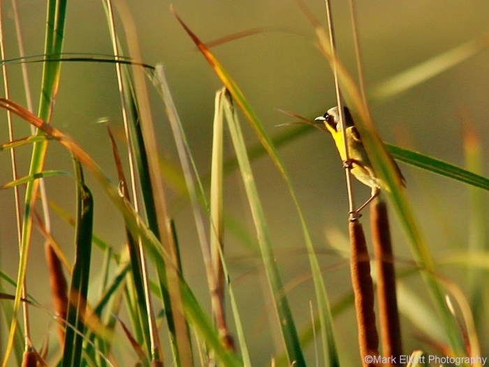 common-yellowthroat-10-1270x955