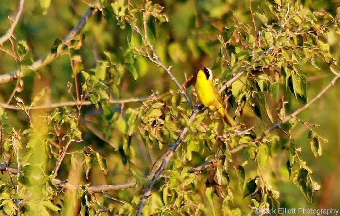 common-yellowthroat-12-1280x817