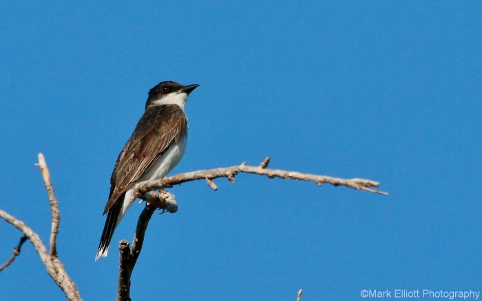eastern-kingbird-20-1280x802