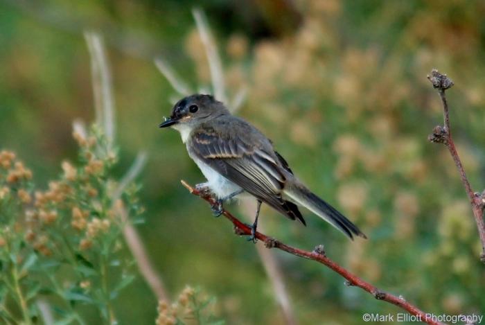 eastern-kingbird-juvenile-5-1280x858