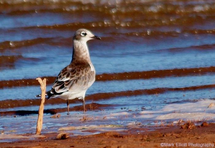 franklins-gull-juvenile-2-1274x882
