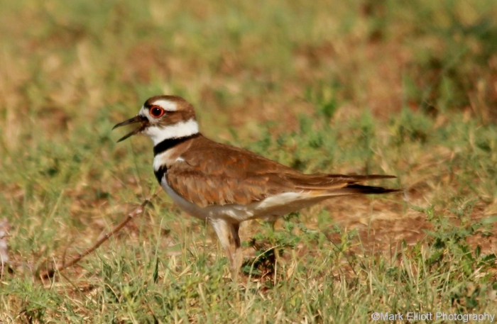 killdeer-31-1280x837