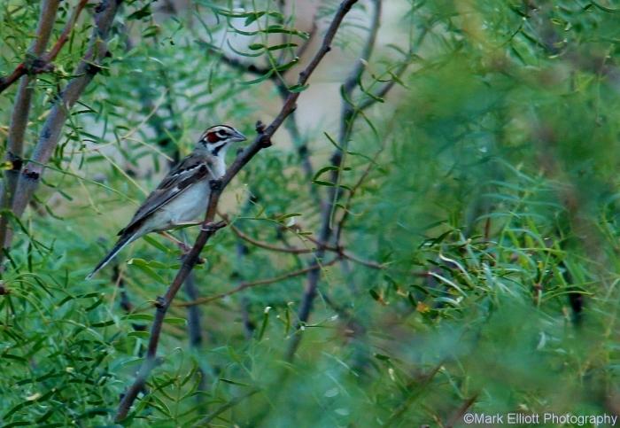lark-sparrow-55-1280x885