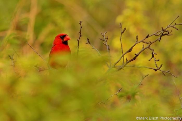 northern-cardinal-52-1280x855