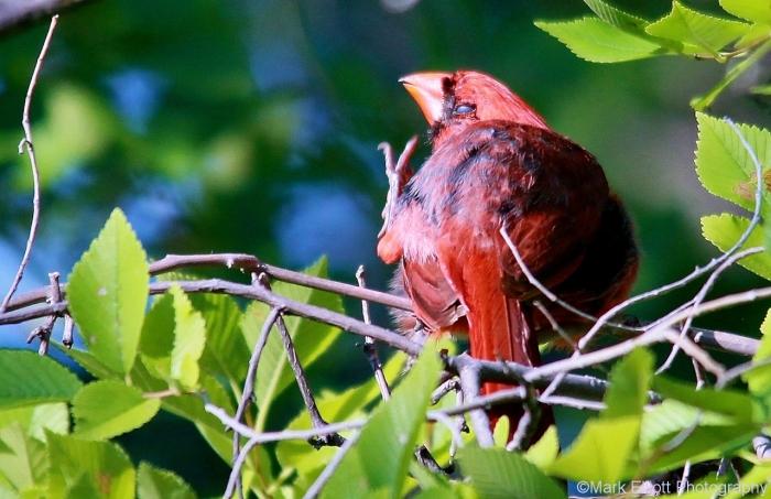 northern-cardinal-53-1280x829