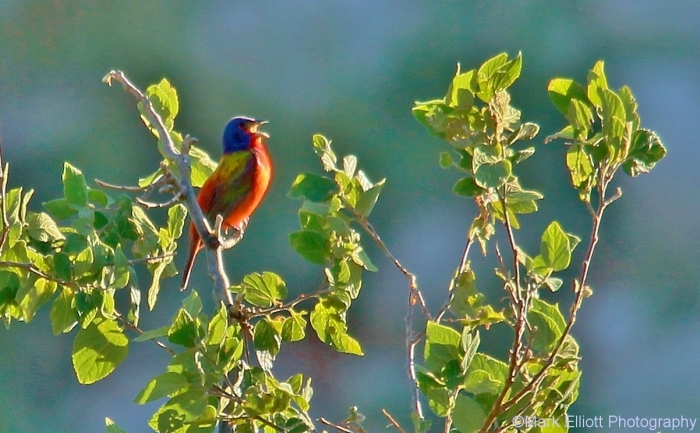 painted-bunting-31-1202x745