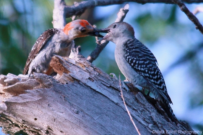 red-bellied-woodpecker-4-1280x852