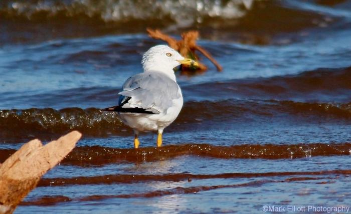 ring-billed-gull-40-1280x782